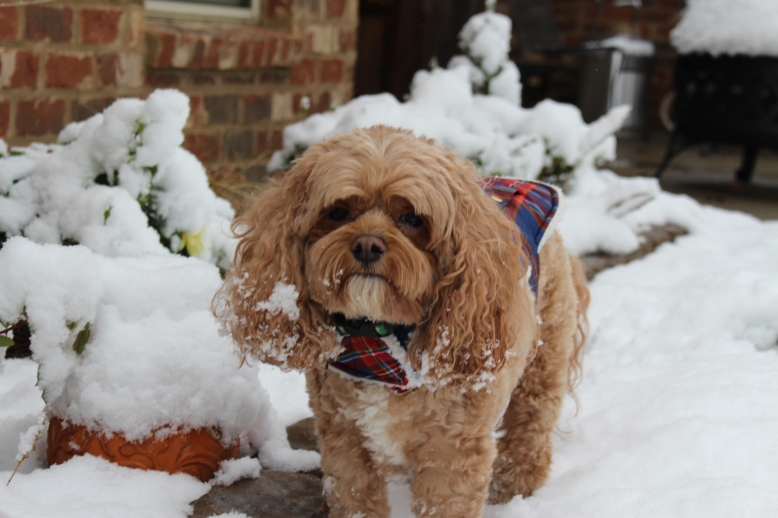 Cavapoo in the snow